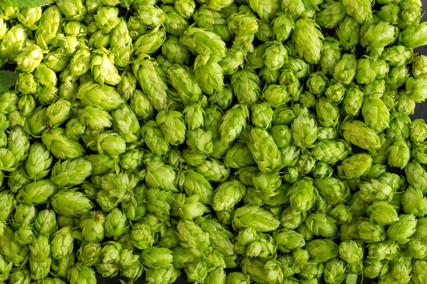 Beer hop
